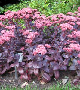 Sedum Purple Emperor plant