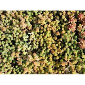 sedumdak laten aanleggen schattig plantje