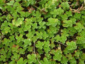Sedum Spurium plantje