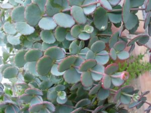Sedum Sieboldii plant