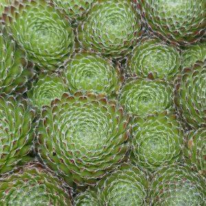 Sedumstekken kopen sedum plantjes