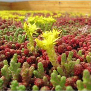 Sedum dakbedekking sedum plantje