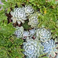 sedumdak onderhoud leuke plantjes