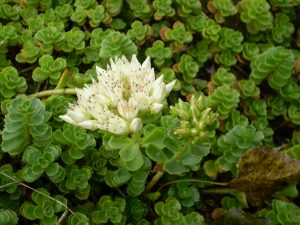 Onderhoudspakket sedumdak bloem